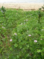ipomoea pes-caprae  ssp. brasiliensis