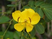 senna pendula flower detail