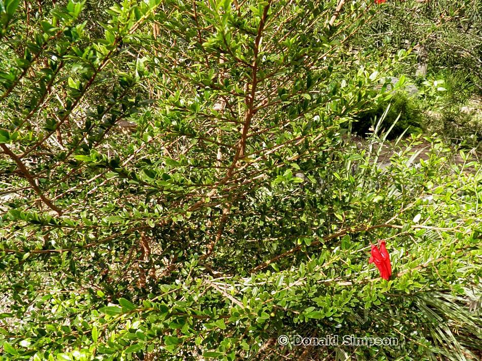 Graptophyllum excelsum