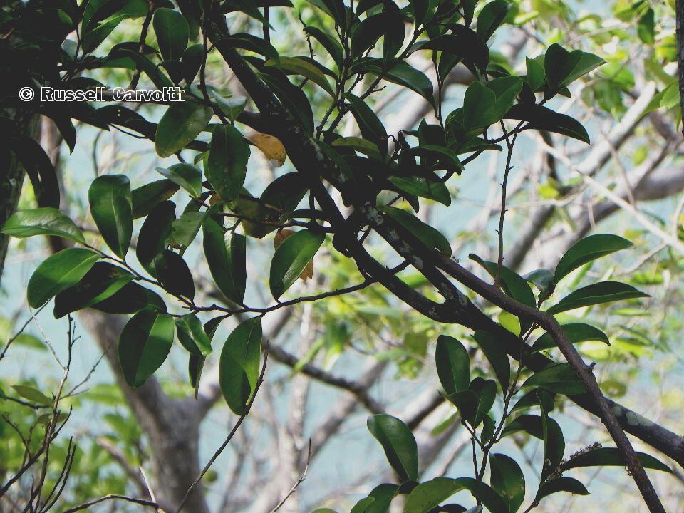 Melodorum leichhardtii