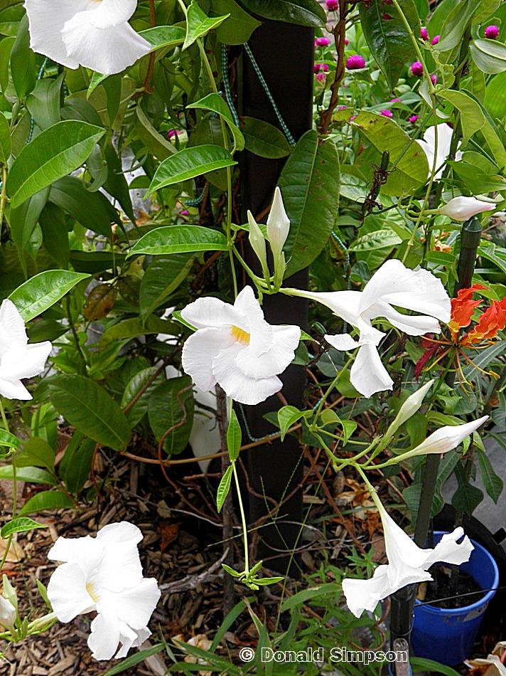 Mandevilla X 'Aloha White'