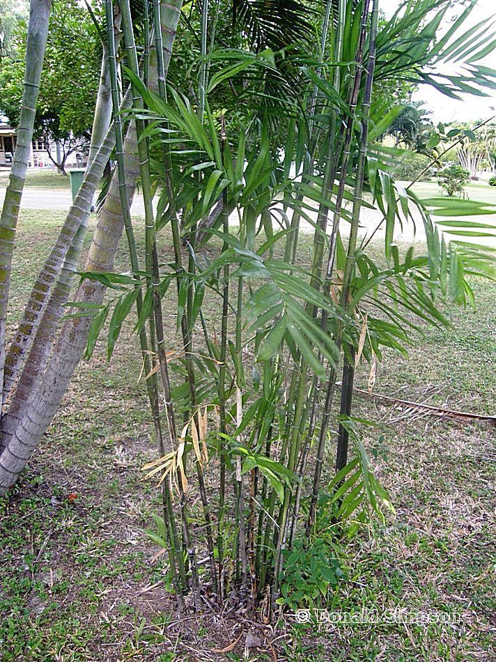 Chamaedorea microspadix