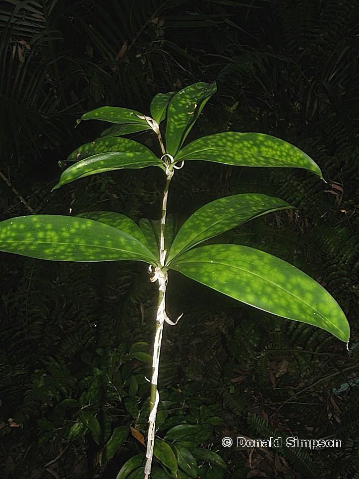 Dracaena surculosa var. 'Punctulata'