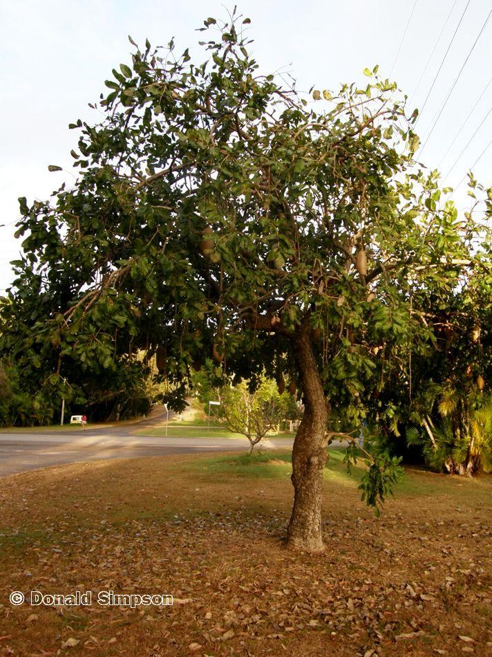Kigelia africana