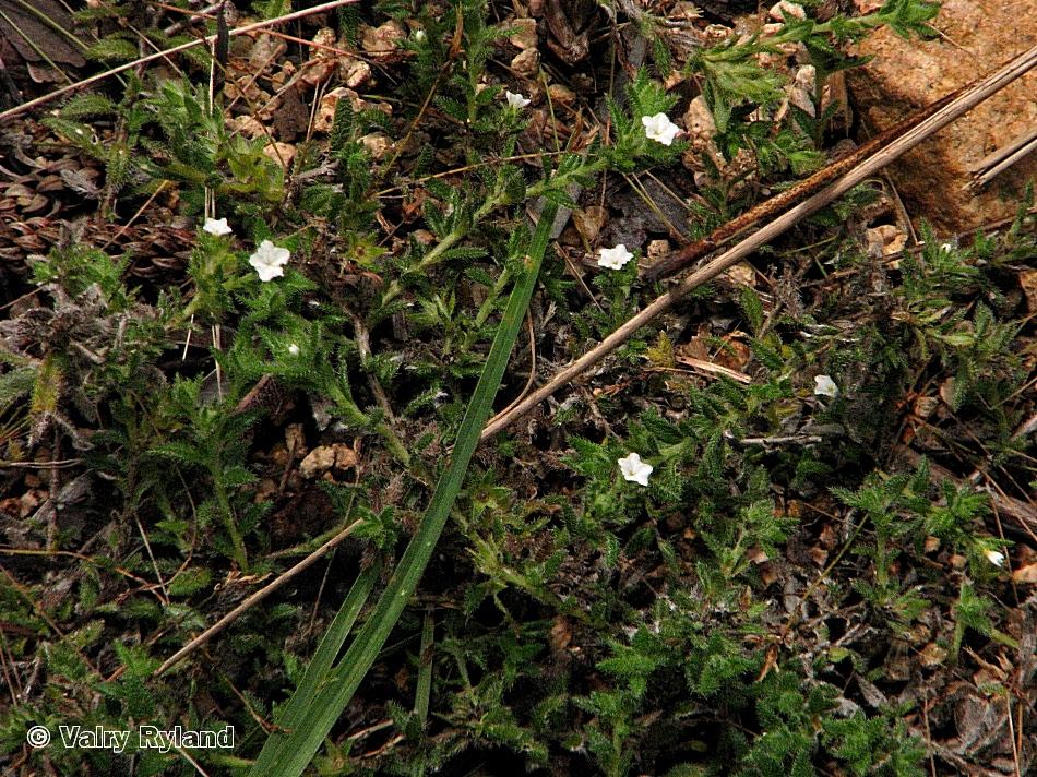 Heliotropium peninsulare