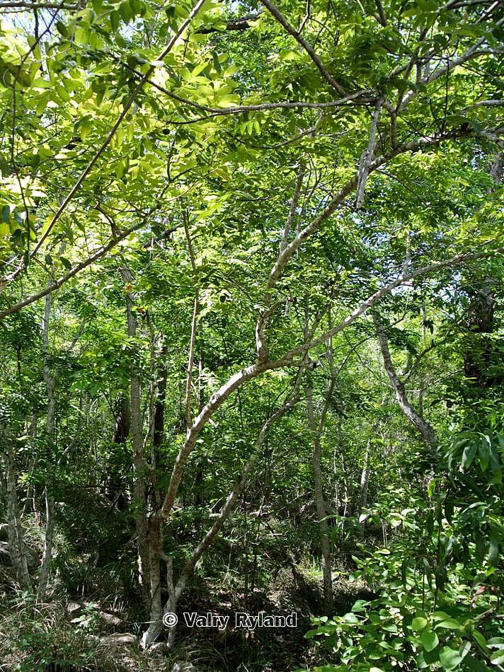 Garuga floribunda