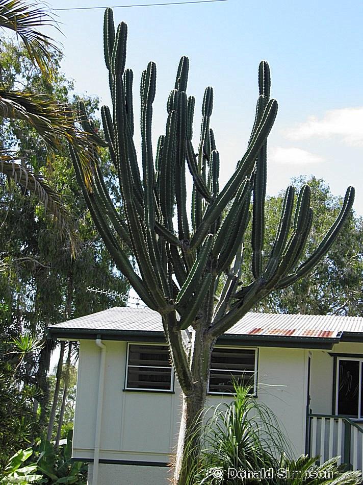 Cereus hildmannianus