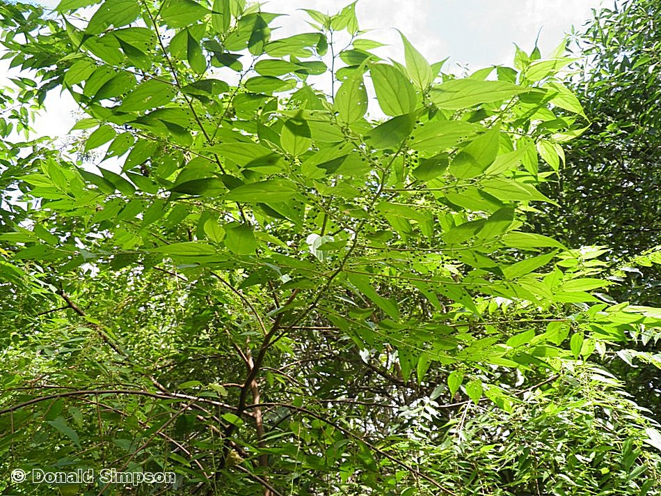 Trema tomentosa var. viridis