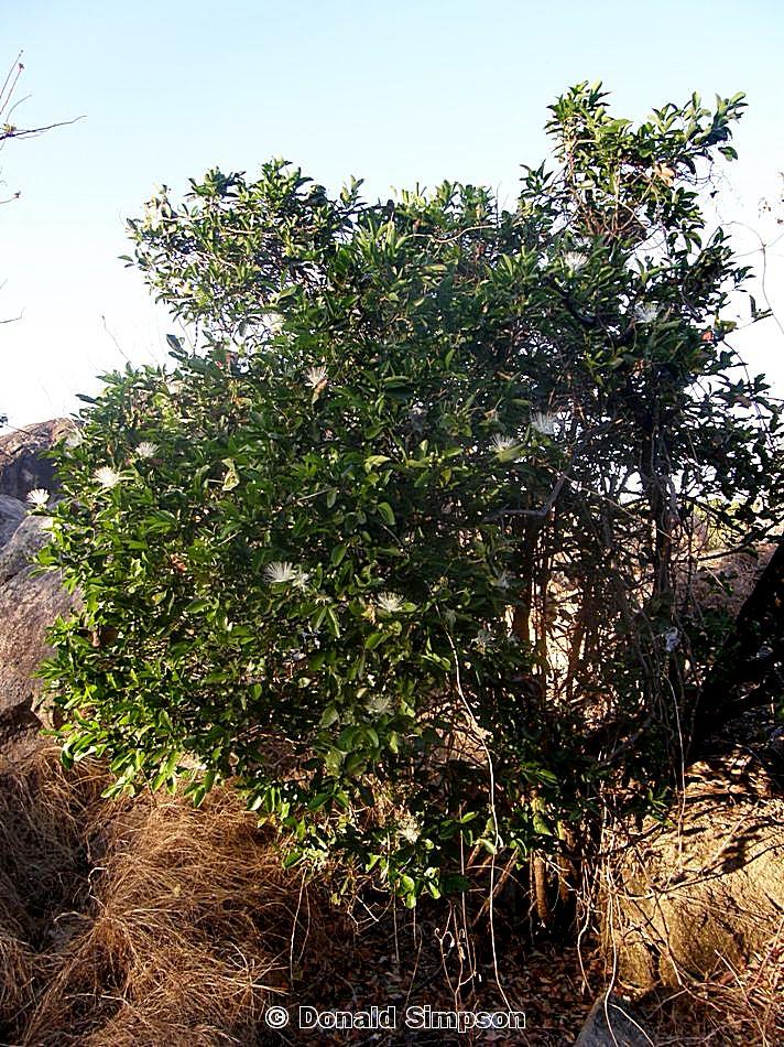 Capparis arborea