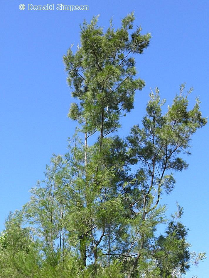 Allocasuarina littoralis