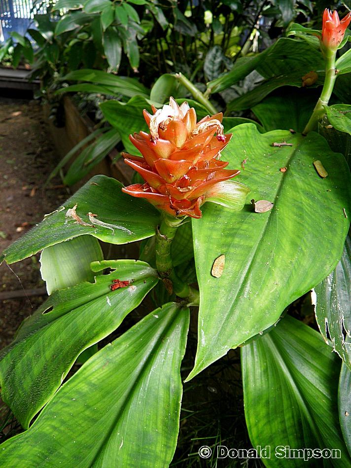 Costus curvibracteatus