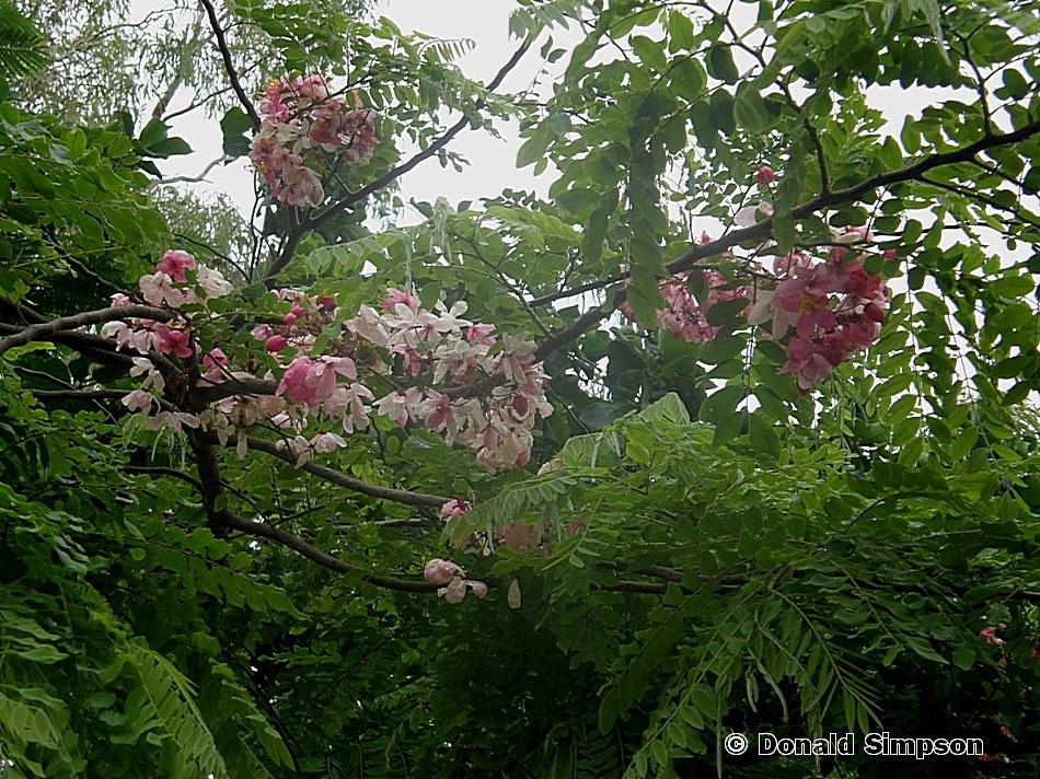 Cassia javanica ssp. nodosa