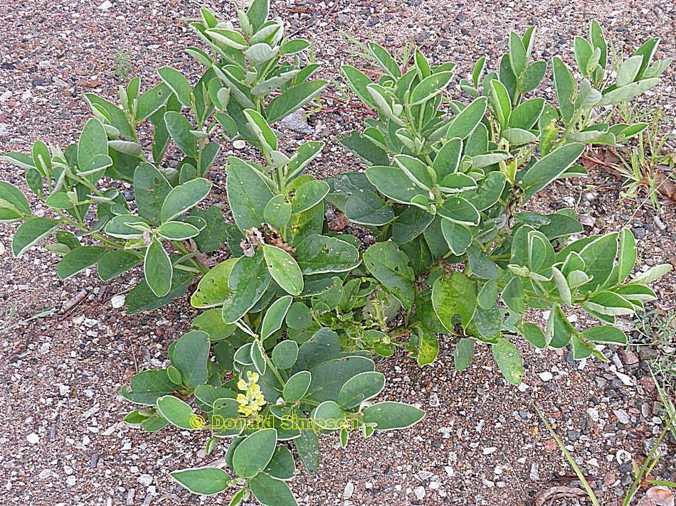 Crotalaria mitchellii