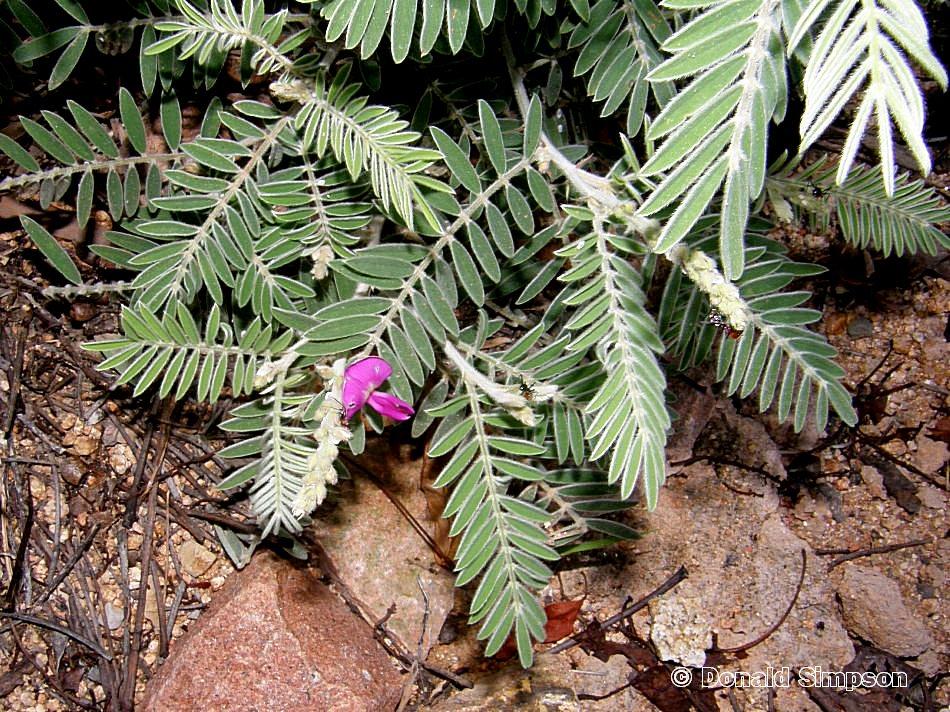 "Tephrosia sp. ""Picnic Bay"""