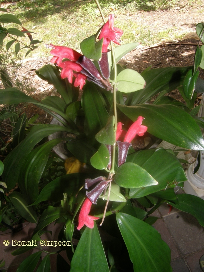 Aeschynanthus pulcher
