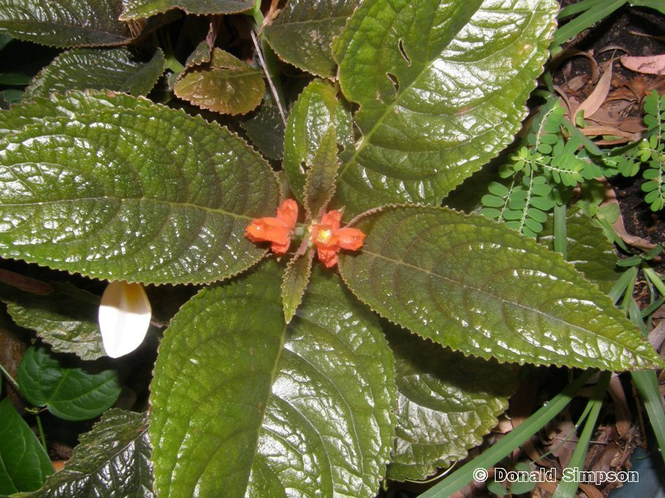 Chrysothemis pulchella
