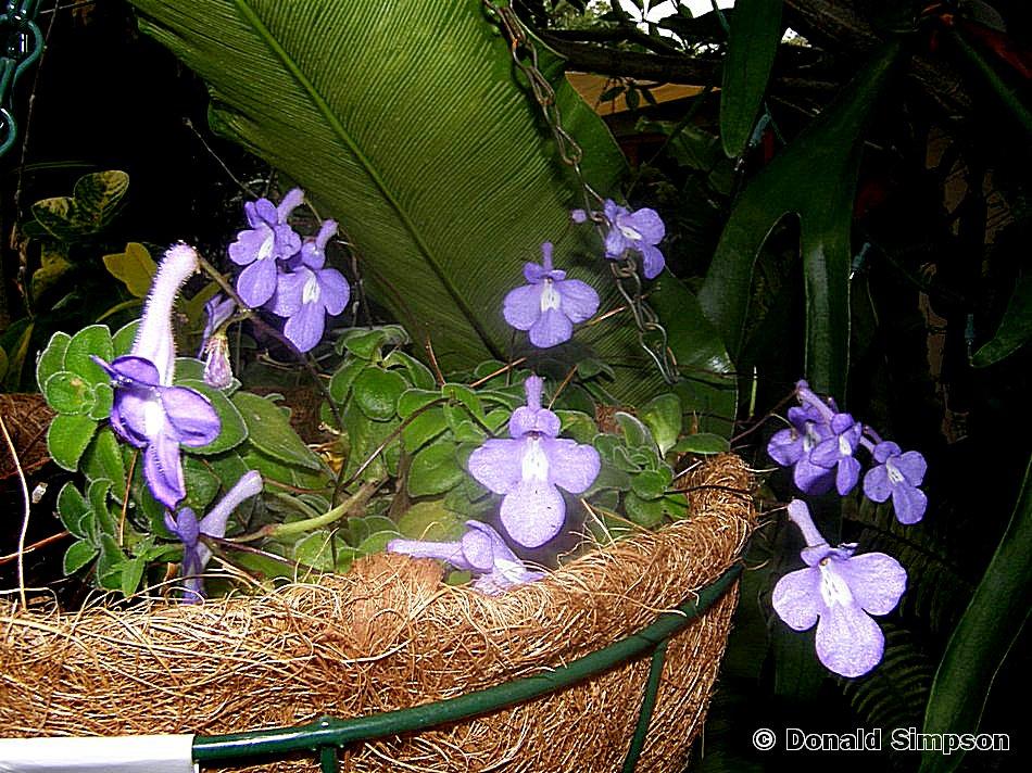 Streptocarpus caulescens