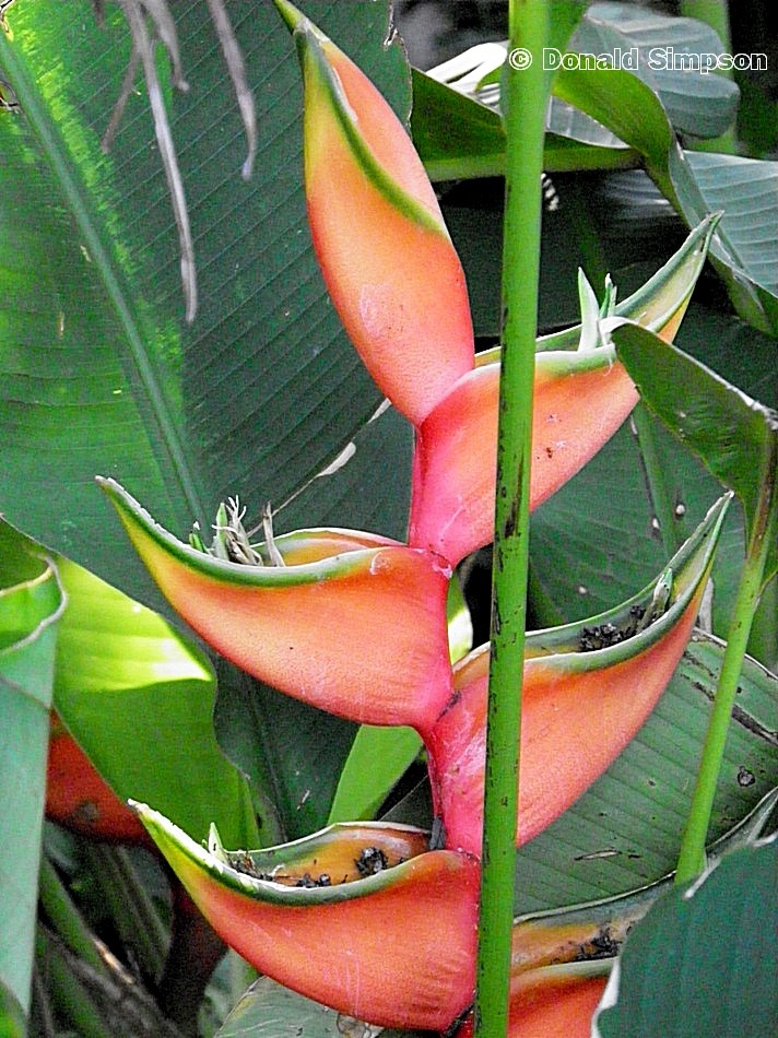 Heliconia bourgaeana