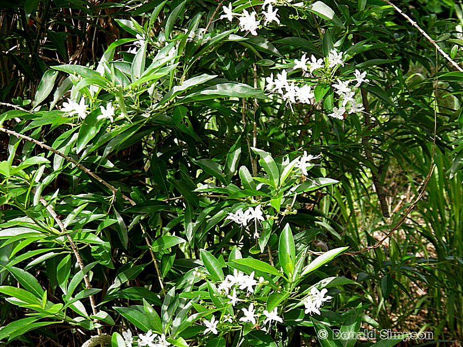 Clerodendrum heterophyllum