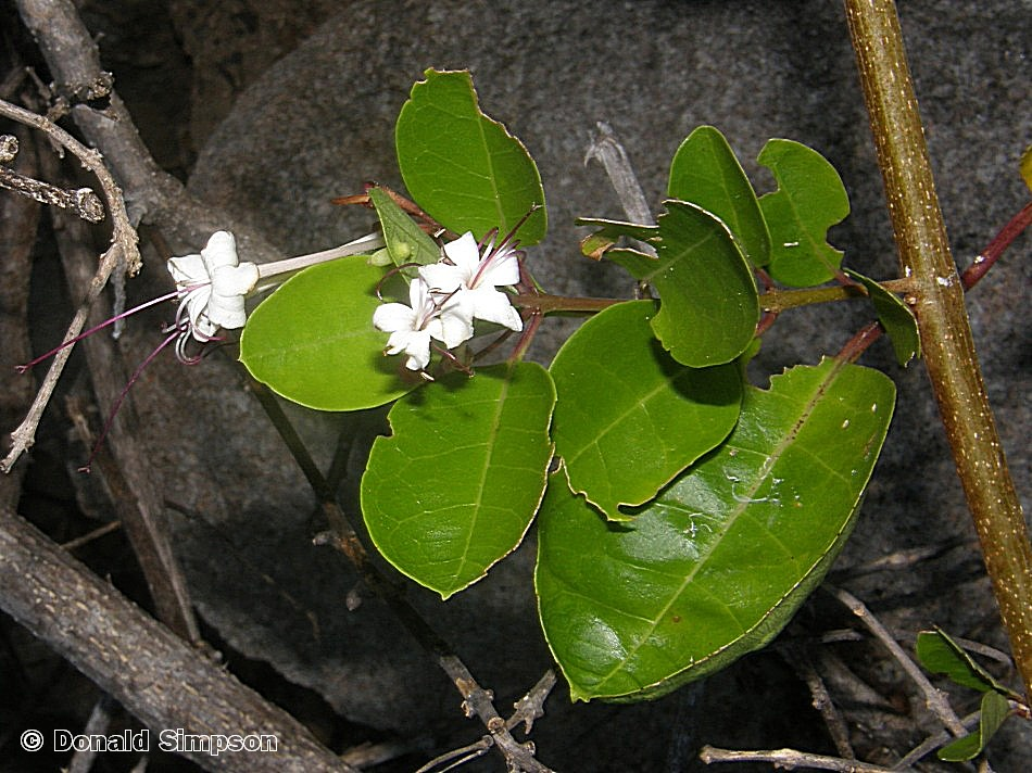 Clerodendrum inerme