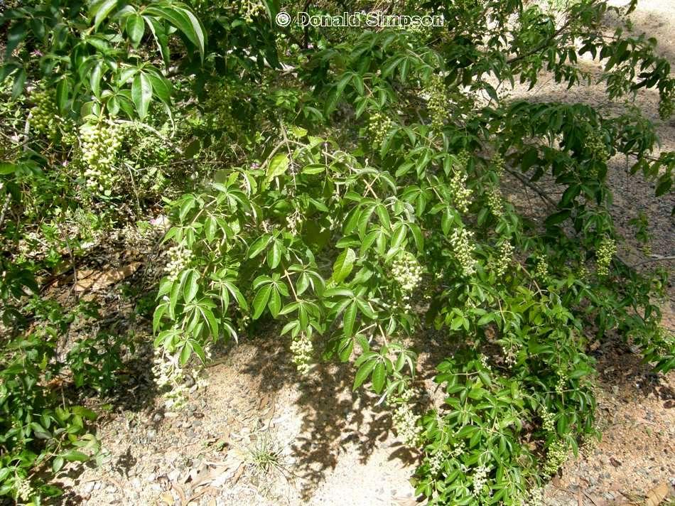 Vitex trifolia