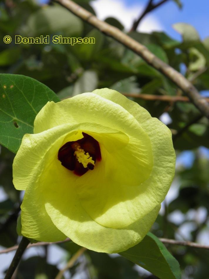 Abelmoschus esculentus flower