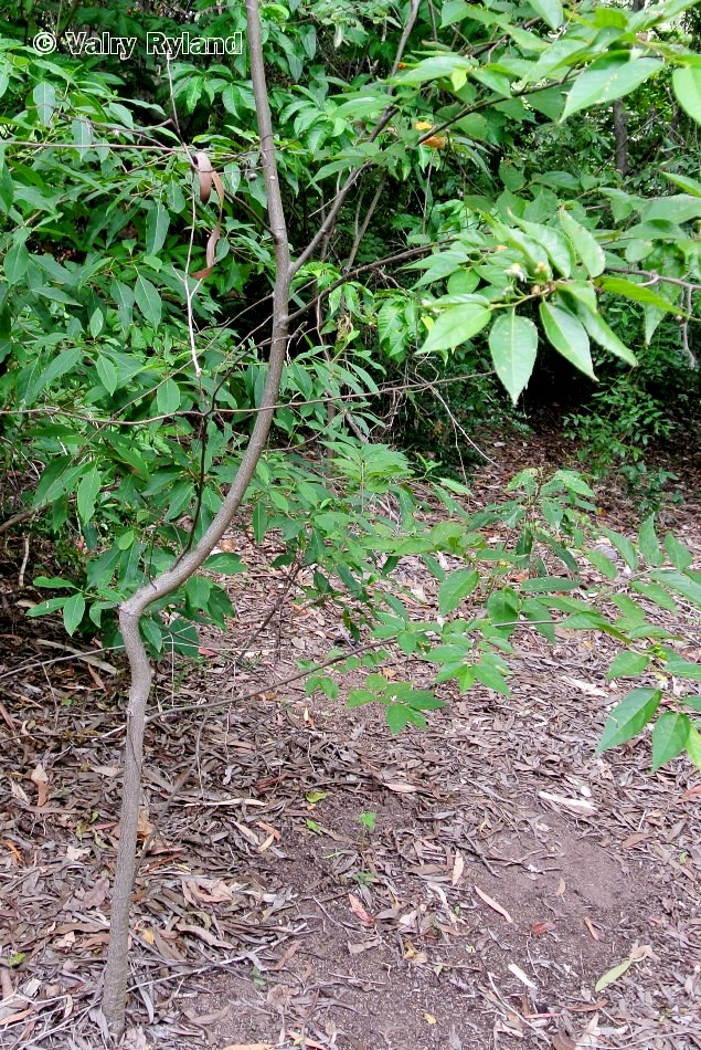 Grewia australis