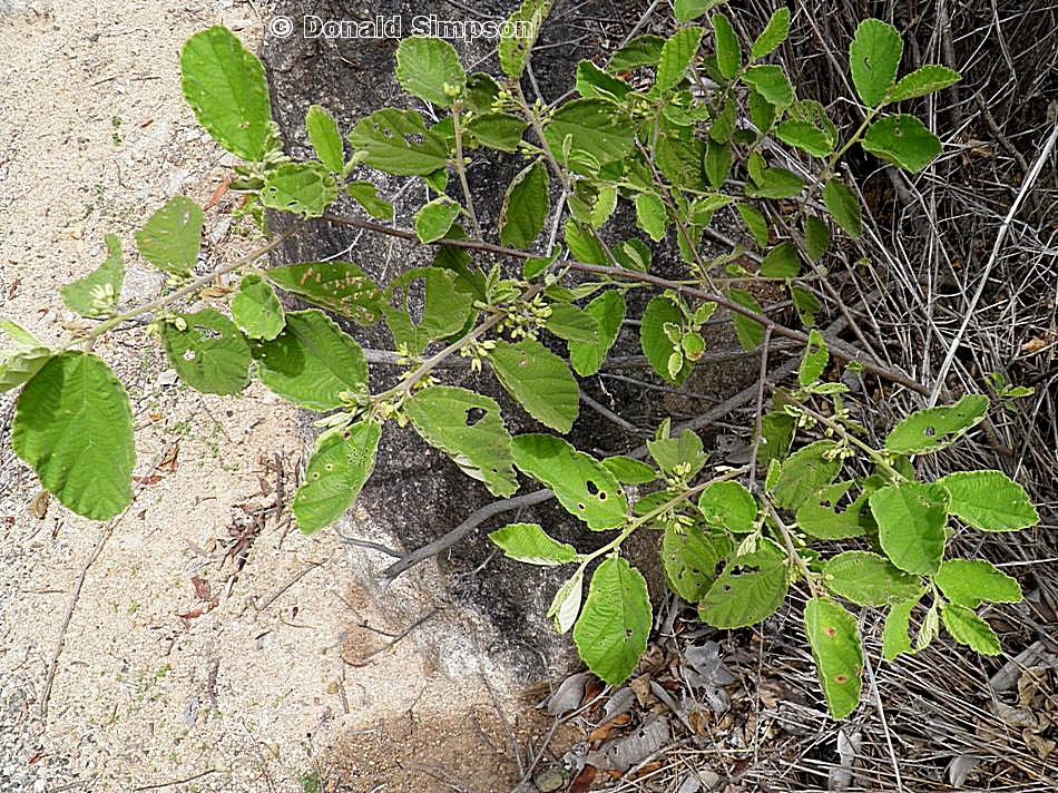 Grewia graniticola