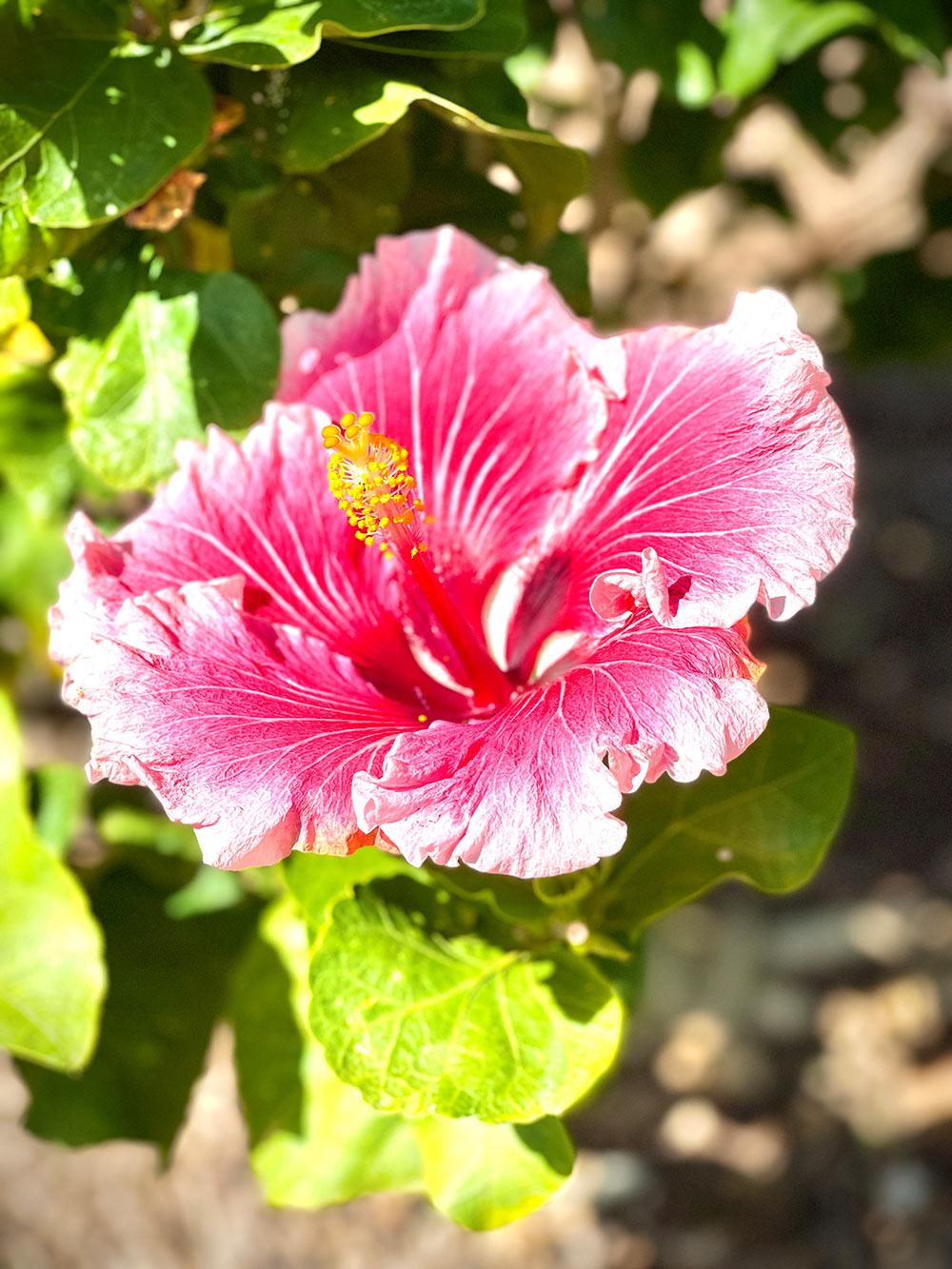 New photos - Hibiscus