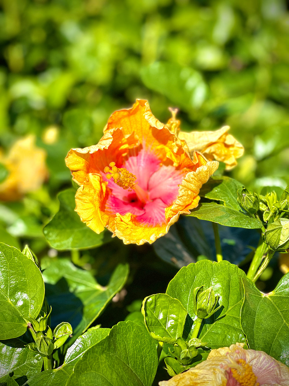 Hibiscus - other unknown