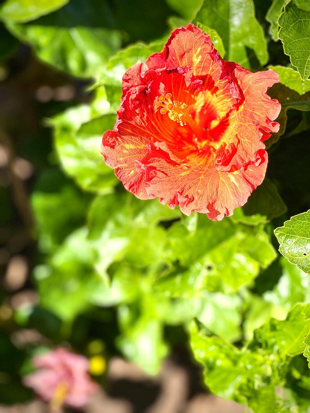 Hibiscus rosalind