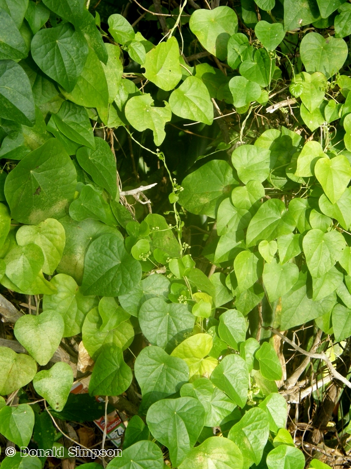 Stephania japonica var. timorensis