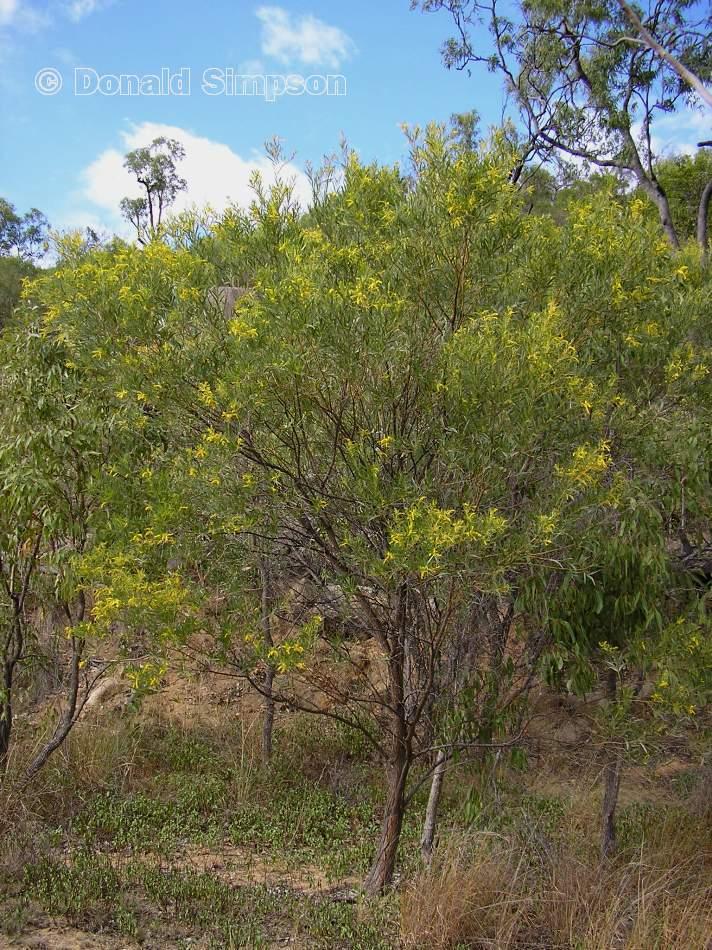 Acacia leptostachya