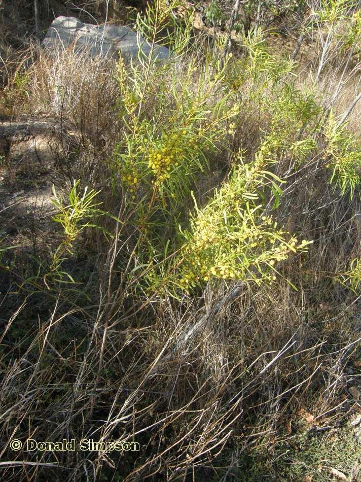 Acacia simsii
