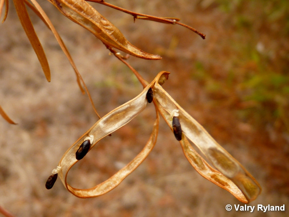 seed pods of Acacia sp.