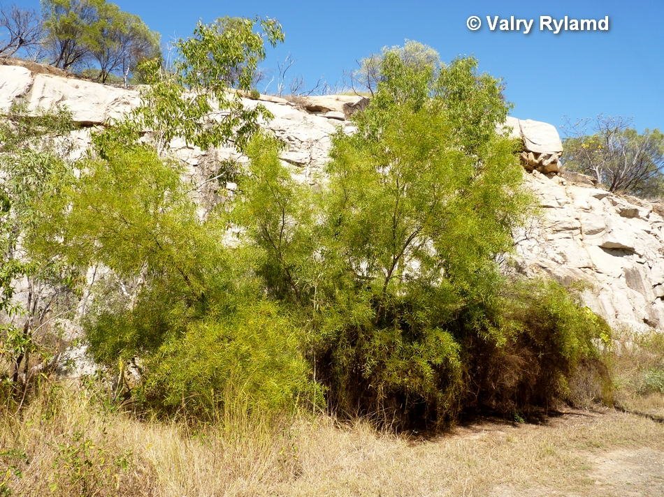 wattle species