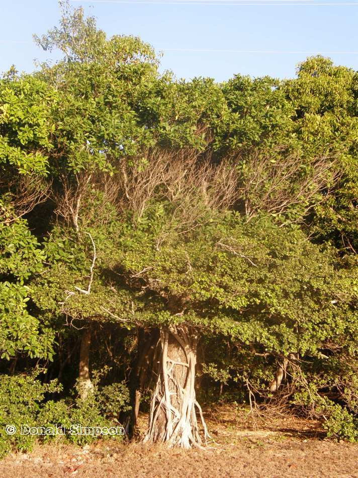 Ficus microcarpa var. latifolia