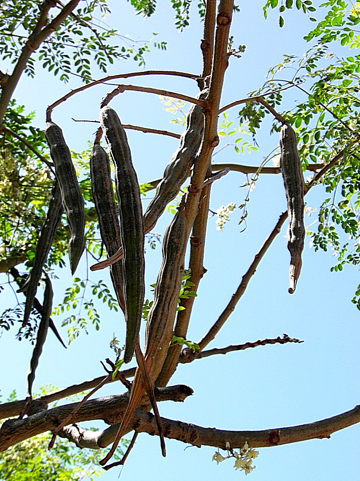Moringaceae