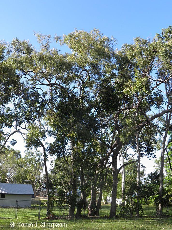 Corymbia clarksoniana