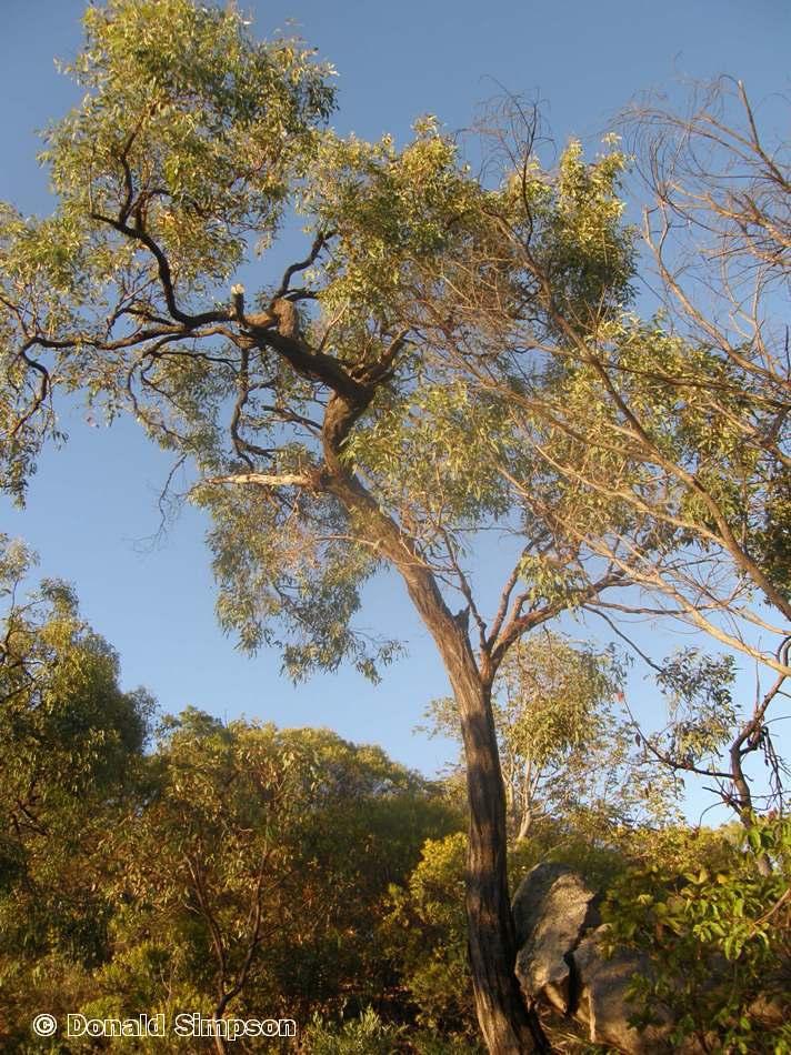 Eucalyptus drepanophylla