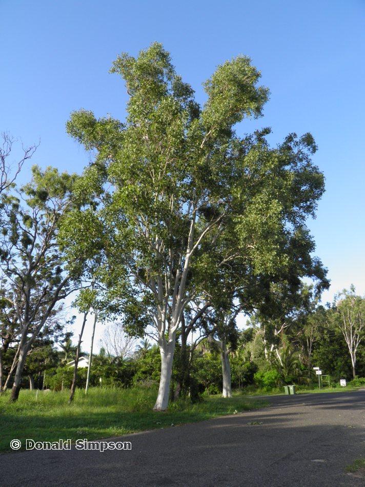 Eucalyptus platyphylla