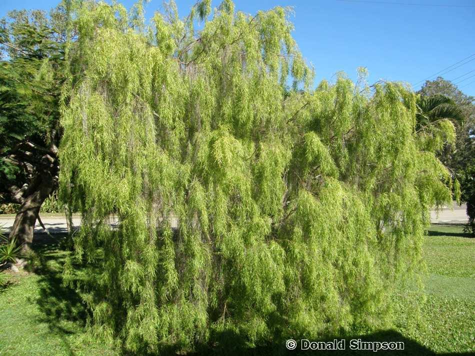 Leptospermum madidum