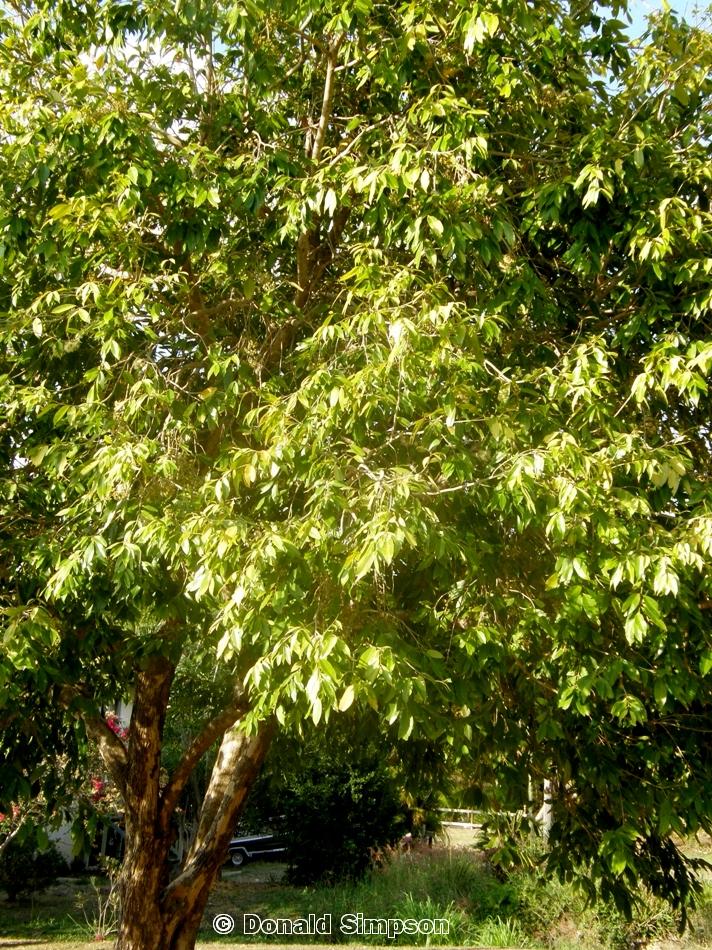 Syzygium tierneyanum