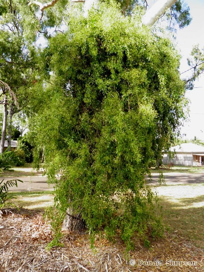 Jasminum didymum var. racemosum