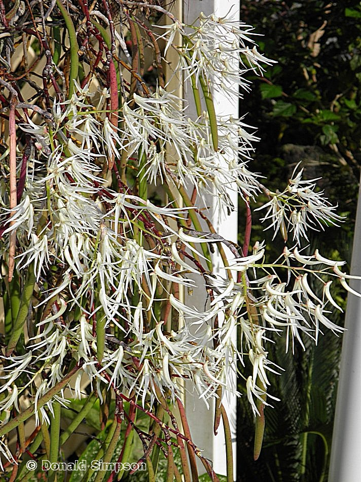 Dockrillia teretifolia