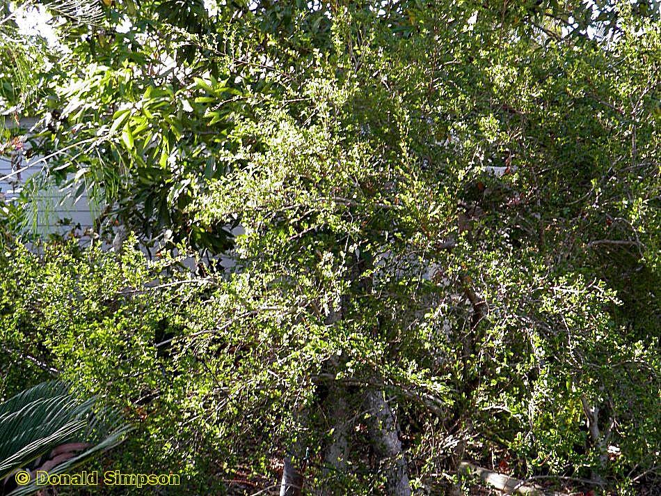 Antidesma parvifolium