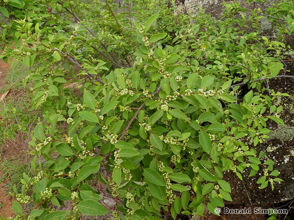 Flueggea virosa ssp. melanthesoides