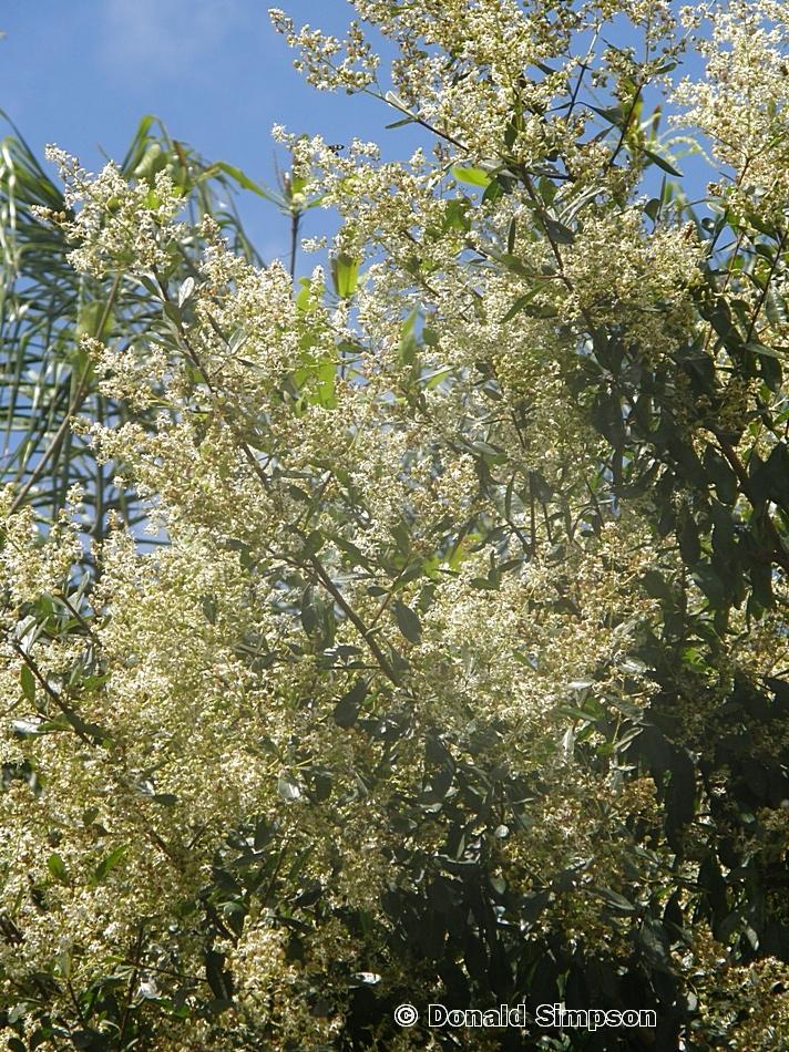 Bursaria tenuifolia