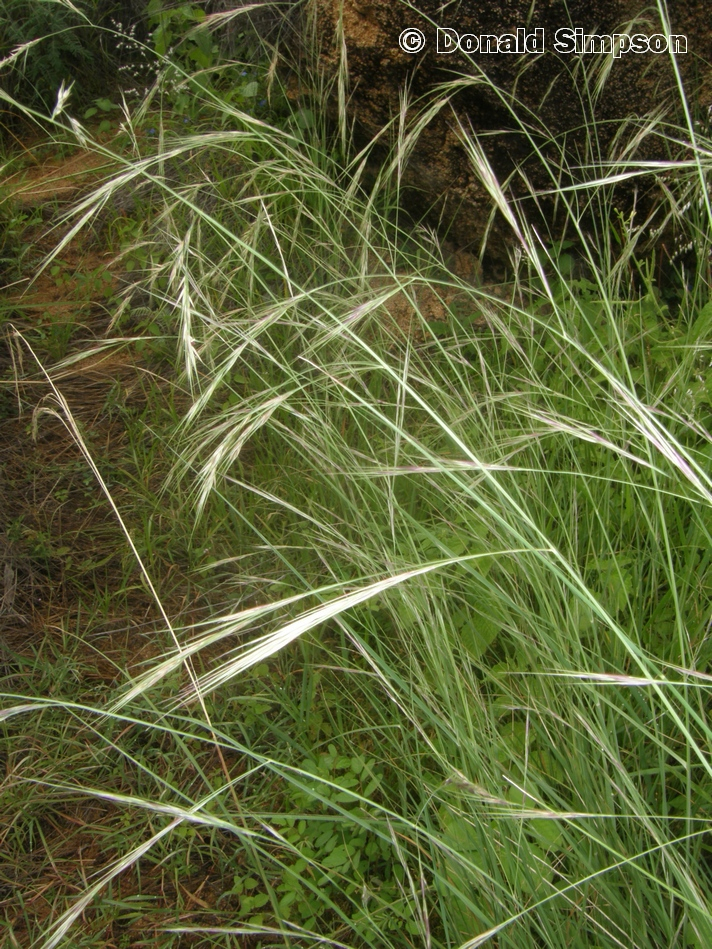 Aristida gracilipes