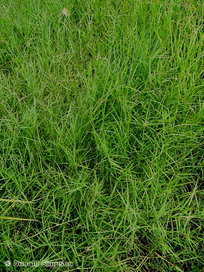 Digitaria didactyla
